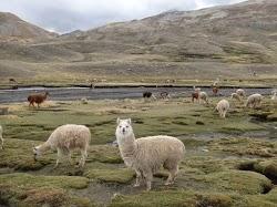 alpacas en bofedal